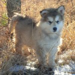 One of a kind sable wooly female - Lacey  staying here - Tazz and Zoey litter