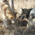 Ruby and NIla her pup from Tazz 3-2013