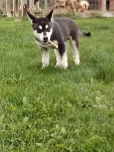 Spike 13 wks 1400 today available
