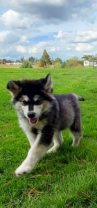 Wooly female Kia available