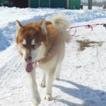 Kuma giant dark red male 18 months loves to work
