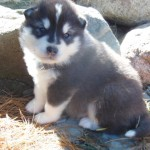 Dawson black and white male large 4 wks