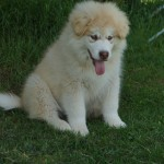 Ginger light red wooly 12 wks