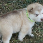 Clara-4wks-Med Red Female-White stripe on forehead-Loves people-Sold