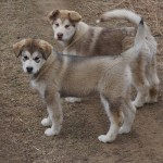 Patience and Dakota Clay-Last litter from Ruby and Judd