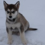 Jax- wolf sable male sold