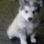 #1 female silver wooly  12 lbs 6 wks
