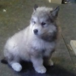 #2 Wooly dark gray female 11 lbs 6wks