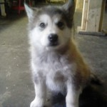 #3 female Sable standard coat  10 lbs 6 wks sold