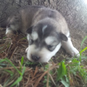 Diamond gray female white on chest like momma. 14 days Riley-Kuma -sold Greg