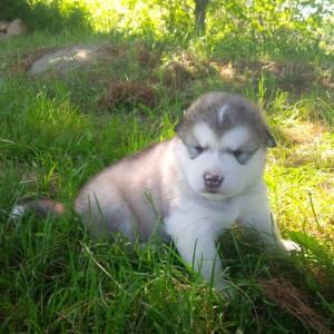 Ranger light gray male 8. 2 lbs 3 weeks. With googles and markings like mom.. available
