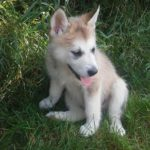 Shyla wolf sable female Alaskan shepherd female 1000