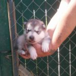 Shyla wolf gray female available