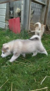 ivey gray female 10 wks available 1500