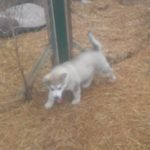 Ivy playing with Carter last akc gray female 1500