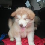 Rusty friendly wooly light red 1500 white star 7 wks 10.2