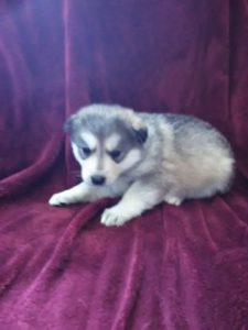 Bella gray female available