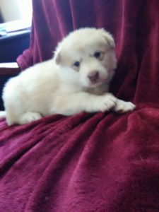 Blondi creme light red female available 800