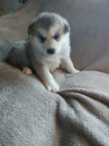 Sadi alaskan shepherd female available