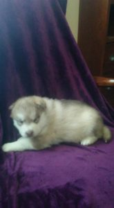 Mochi red wooly female 1800