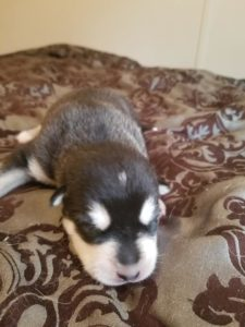 Onyx giant black and white boy largest pup. 1500 —