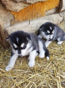 gracie and nochi  4 wks 1500.00 each