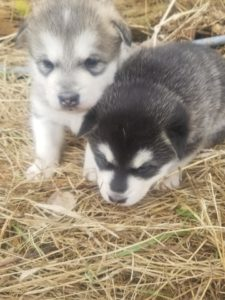 available males 1500 each
